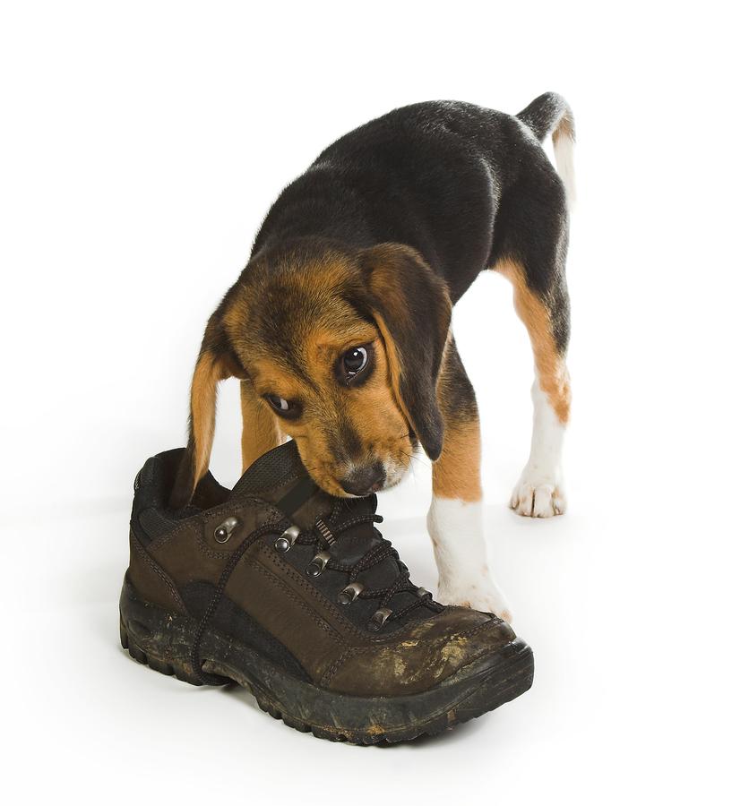 щенок грызет обувь