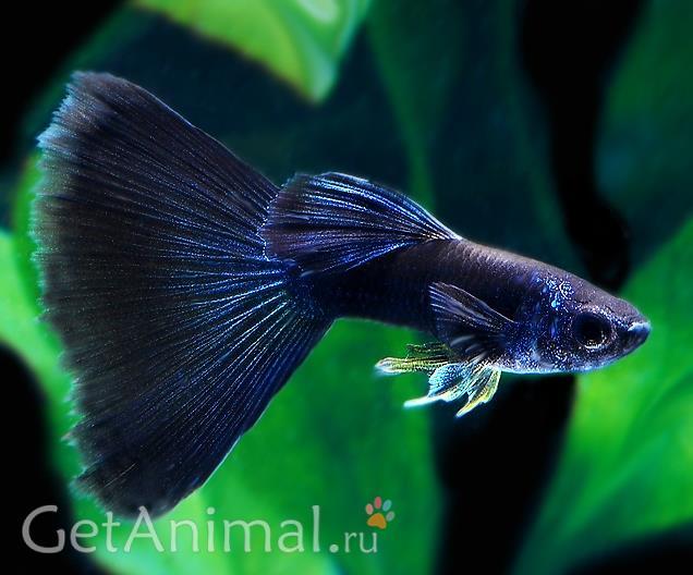 рыбка петушок синяя
