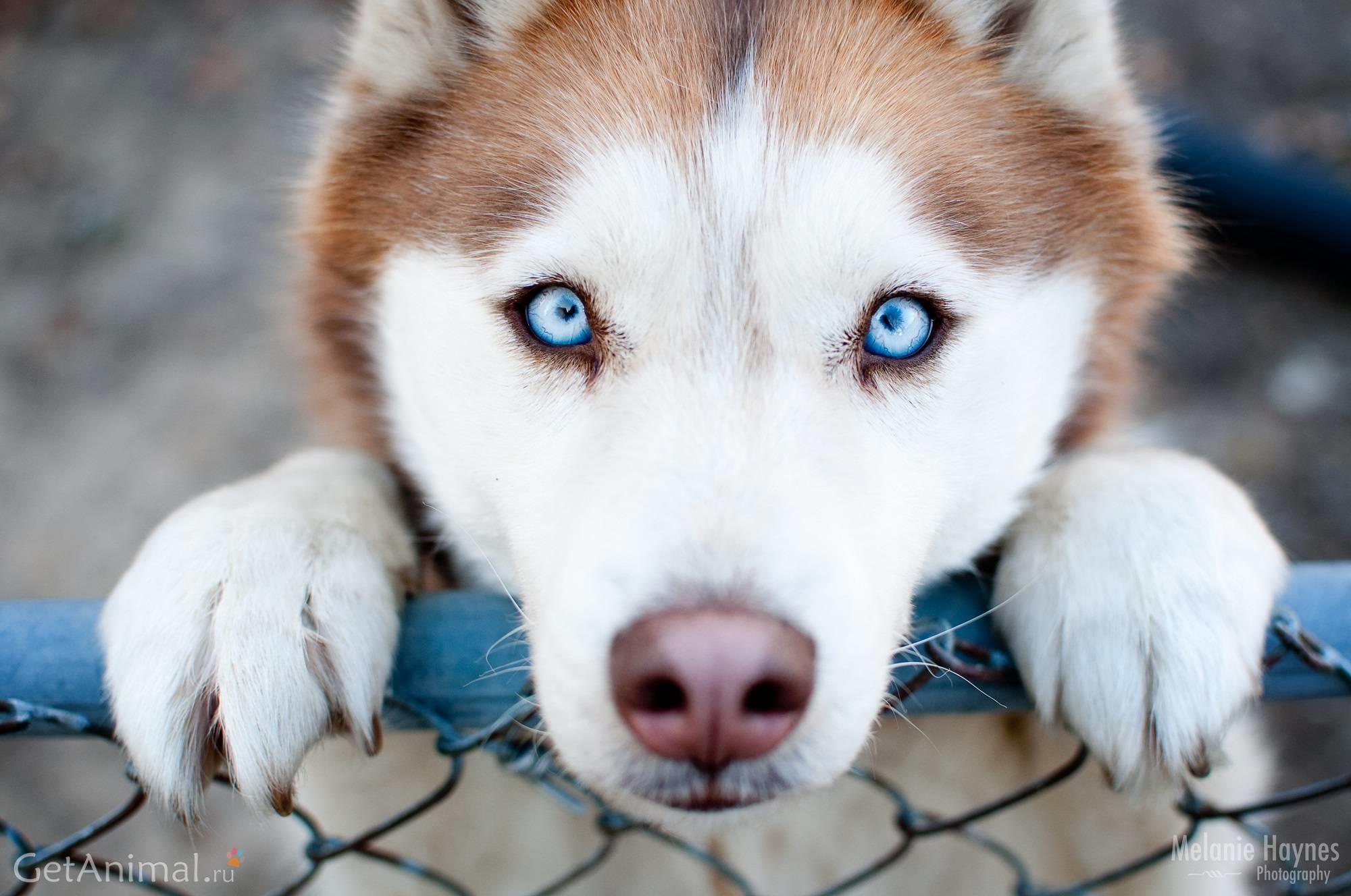 лайка с голубыми глазами
