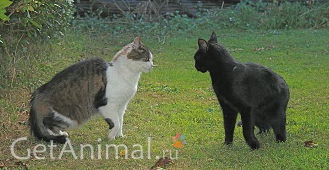 драка взрослых котов