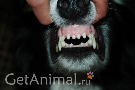 определить возраст собаки по зубам