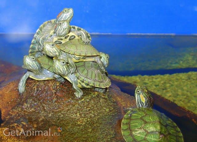 новорожденного является черепахи как за ними ухаживать безопасности при обслуживании